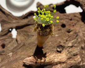 Galauti cornets Wild mushrooms, Spices, Citrus gel, Truffles
