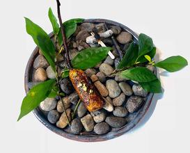 Soft Shelled Turtle, Saga Lindera, Ishikawa